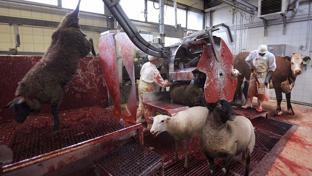 A slaughterhouse