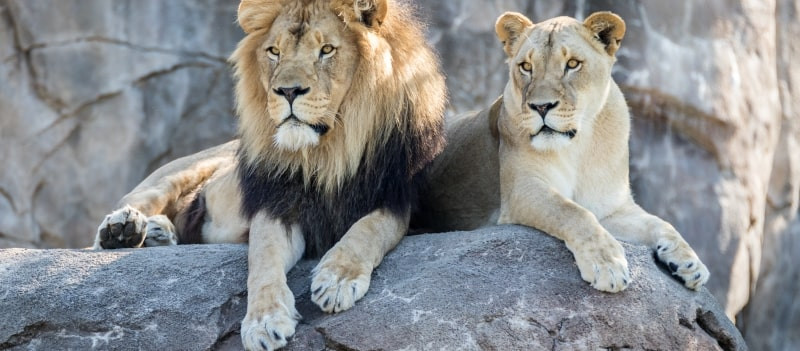 2 lions sitting on a rock