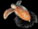 maldives-turtle.png