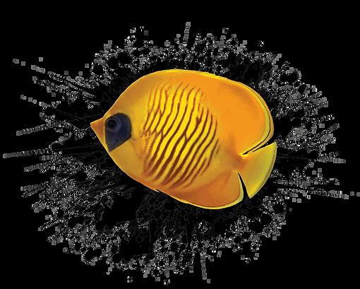 maldives-yellow-fish-02.png