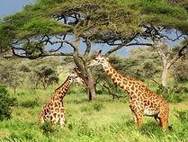 Sunset Adventure Safari Giraffes.jpg