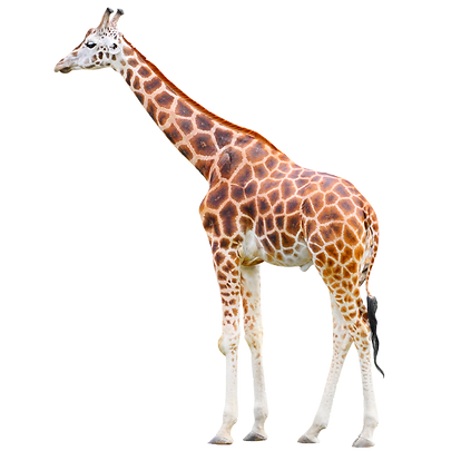 Giraffe%20Profile_edited.png