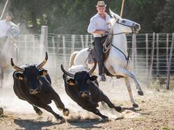 Tri taureau Camargue