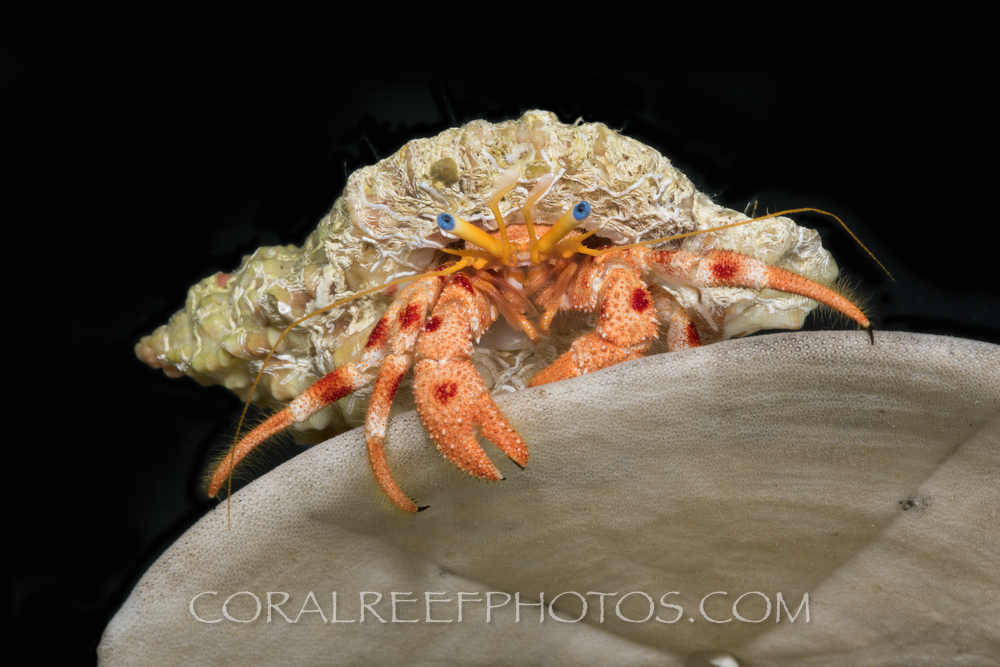 BAR-3684_hermit-crab