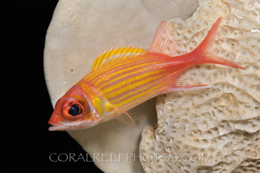 BAR-3721_squirrelfish