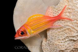 BAR-3721_squirrelfish