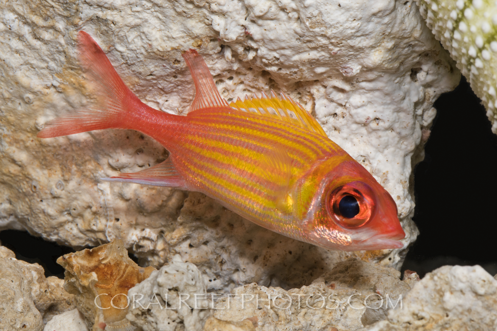 BAR-3723_squirrelfish