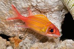BAR-3723_squirrelfish