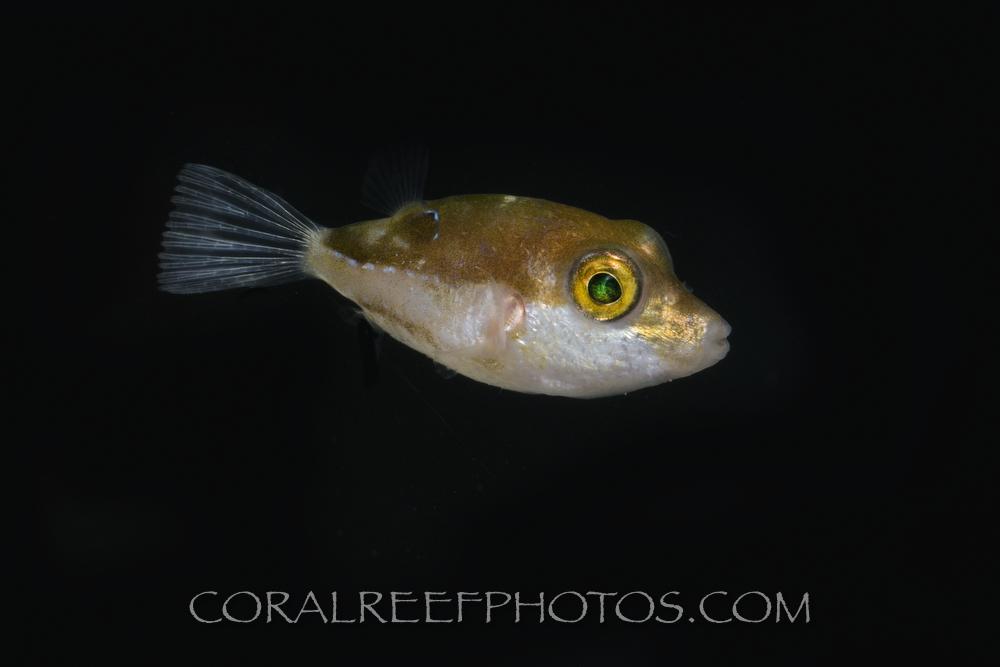 BAR-3673_Canthigaster-jamestyleri