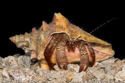 BAR-3720_hermit-crab