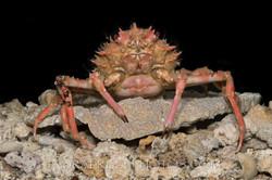 BAR-3676_deep-sea-crab