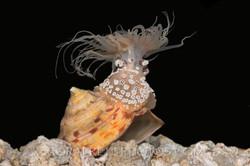 BAR-3706_anemone
