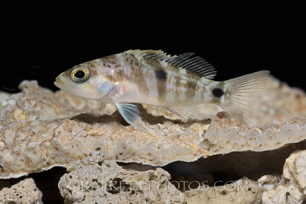 BAR-3671_Centropristis-fuscula