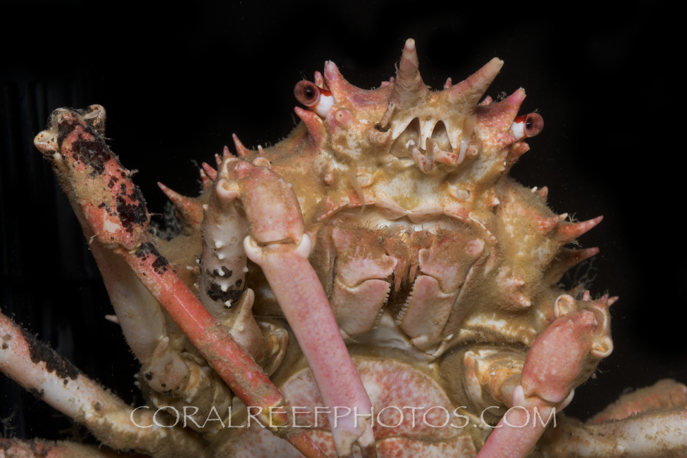 BAR-3677_deep-sea-crab