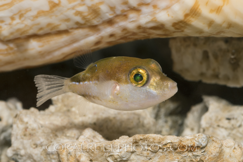 BAR-3672_Canthigaster-jamestyleri