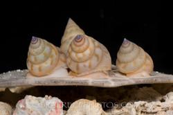 BAR-3686_Calliostoma