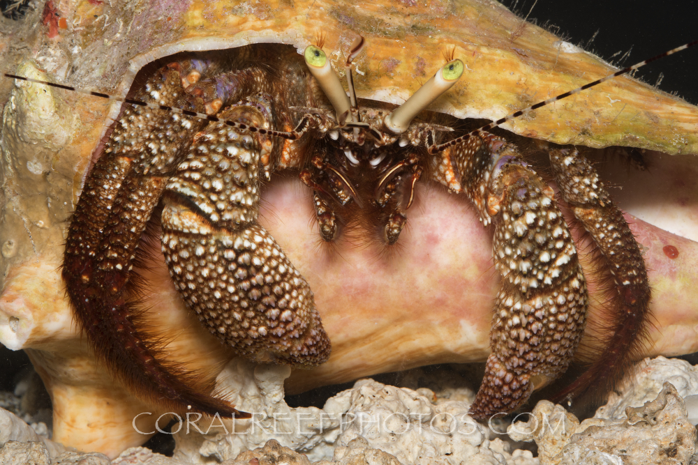 BAR-3719_hermit-crab