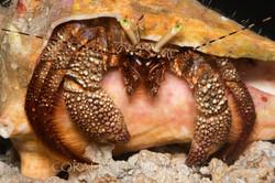 BAR-3719_hermit-crab