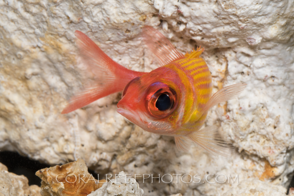 BAR-3722_squirrelfish
