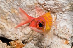 BAR-3722_squirrelfish