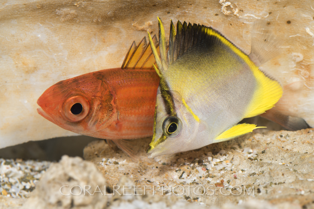 BAR-3666_Prognathodes-aculeatus