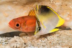 BAR-3666_Prognathodes-aculeatus