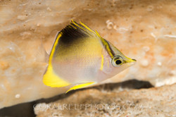 BAR-3667_Prognathodes-aculeatus