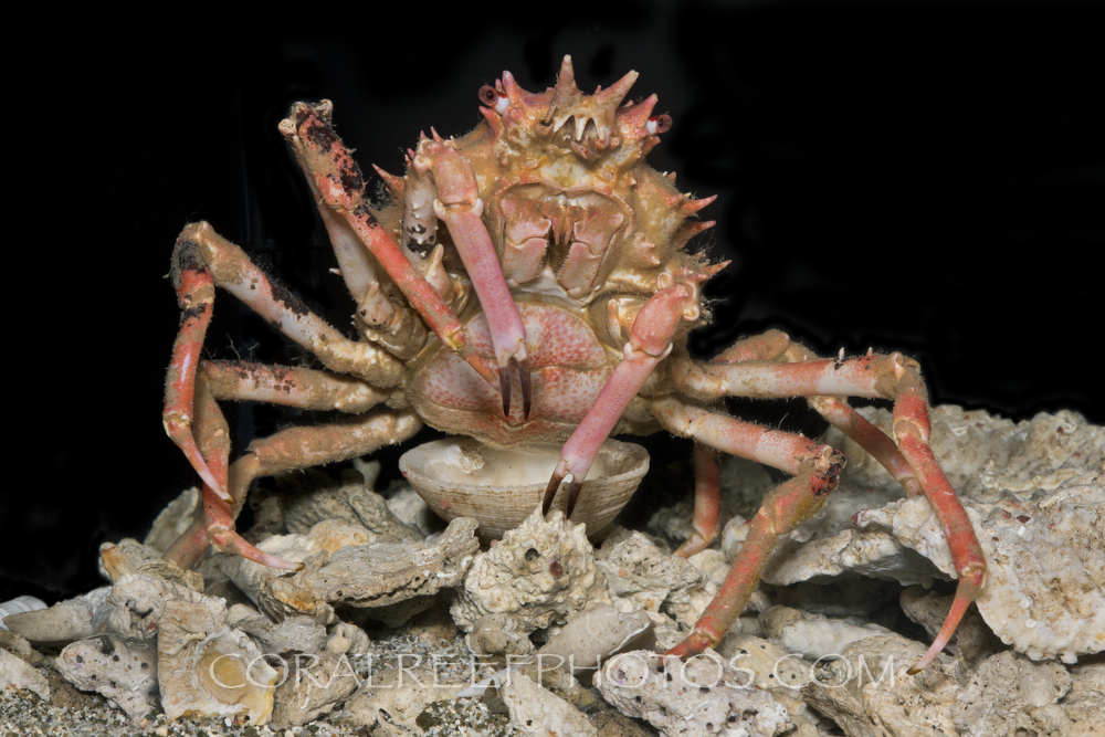 BAR-3675_deep-sea-crab