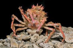 BAR-3675_deep-sea-crab