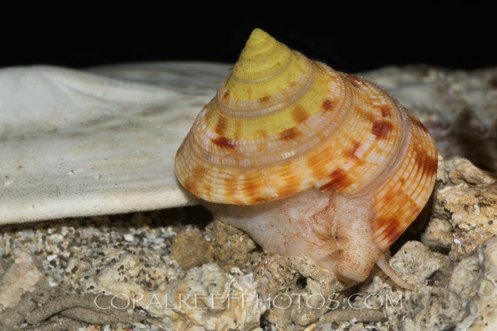 BAR-3734_juvenile-slit-shell