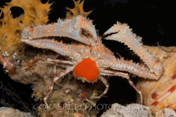 BAR-3712_crab