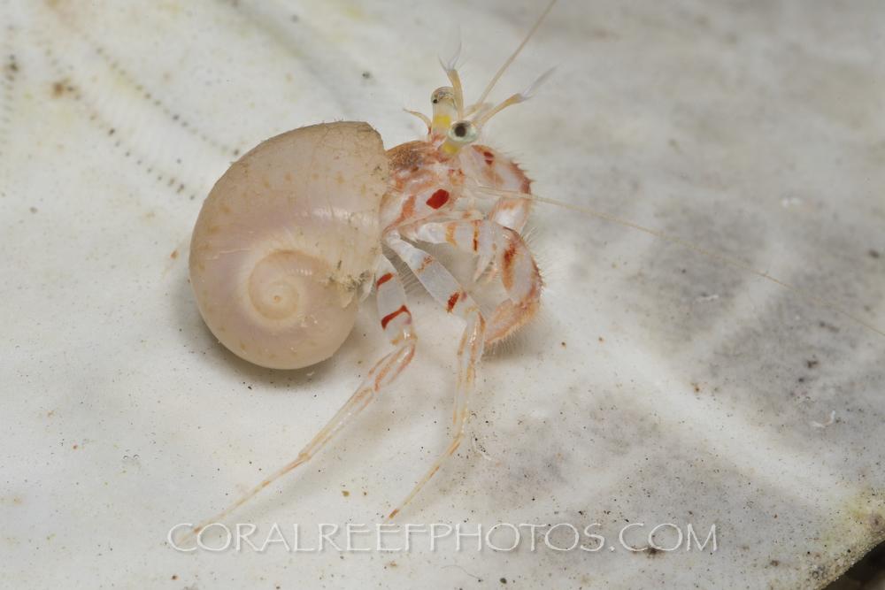 BAR-3718_hermit-crab