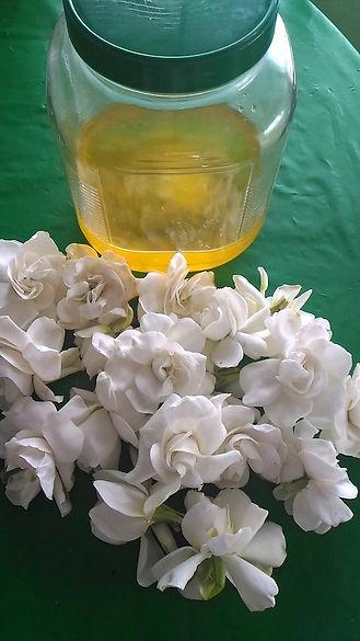 Maui_Gardenia_Flowers_for_Enfleurage_Jan