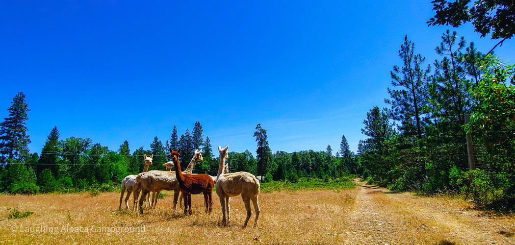 Alpacas1_HDR.jpg