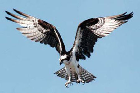 osprey3.jpg