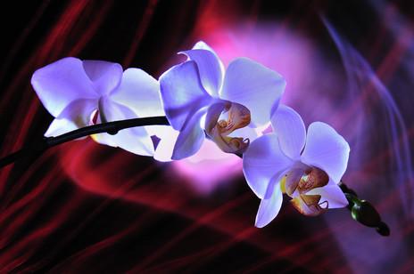 FLO_120319_02_light-orchidéeF.jpg