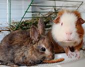 Rabbit-Guinea Pig-Thumb.jpg