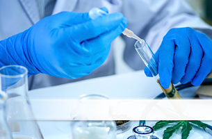 Quality control testing on cannabis in a petri dish to achieve pharmaceutical standards.