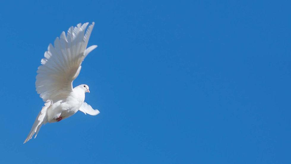 Flying Dove.jpg