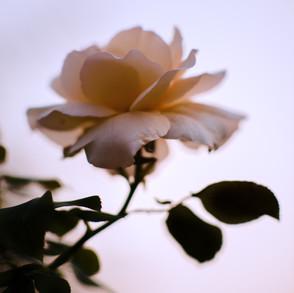 Rose, Sunset