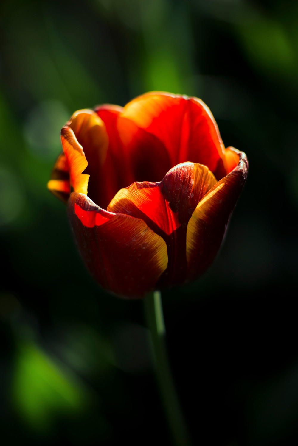 portrait of a tulip taken with a Nikon D610 in color