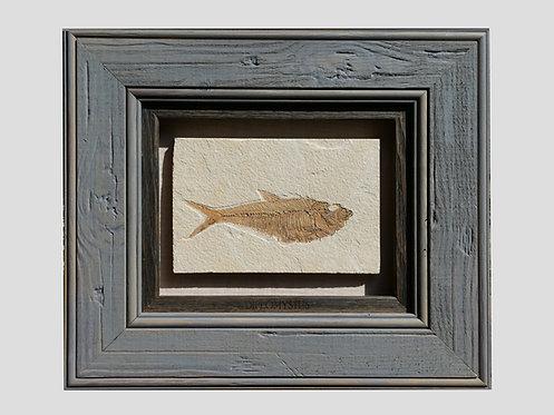 LARGE FOSSIL FISH DISPLAY