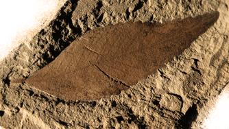 C.Nervosum Fossil Leaf