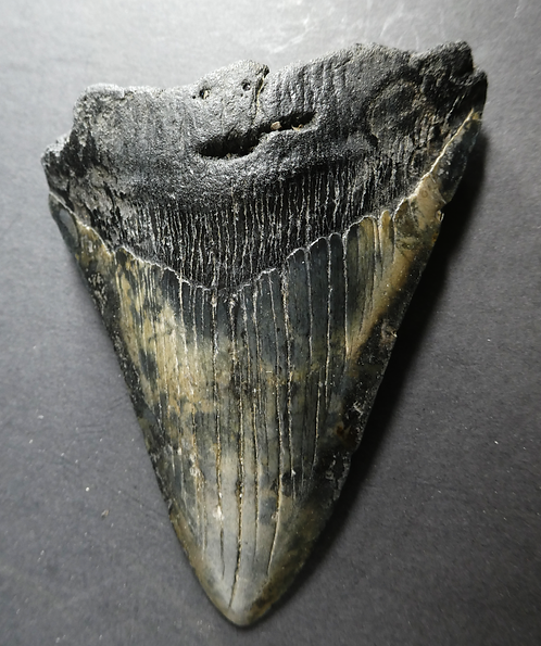 VERY LARGE MEGALODON TOOTH