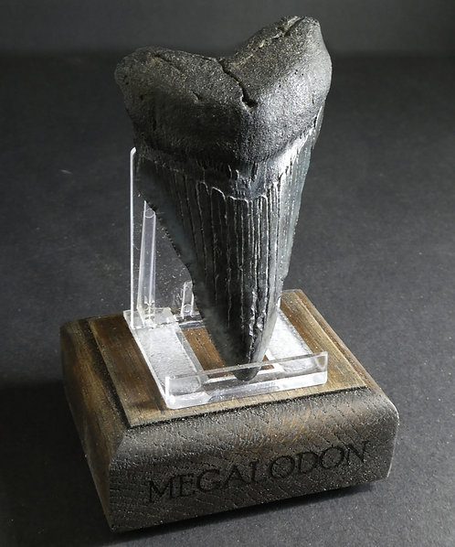 LARGE MEGALODON TOOTH