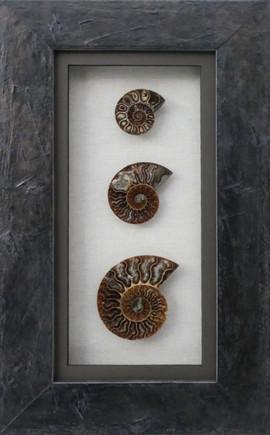 Ammonite Collection