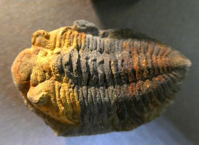 Metacryphaeus Trilobite