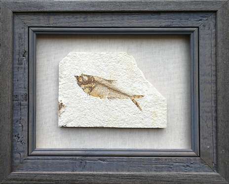 FOSSIL FISH DISPLAY