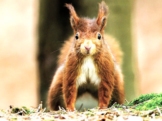 Red Squirrels and Hand Axes