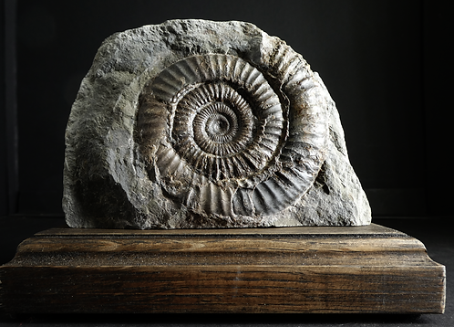 LARGE MOUNTED WHITBY AMMONITE